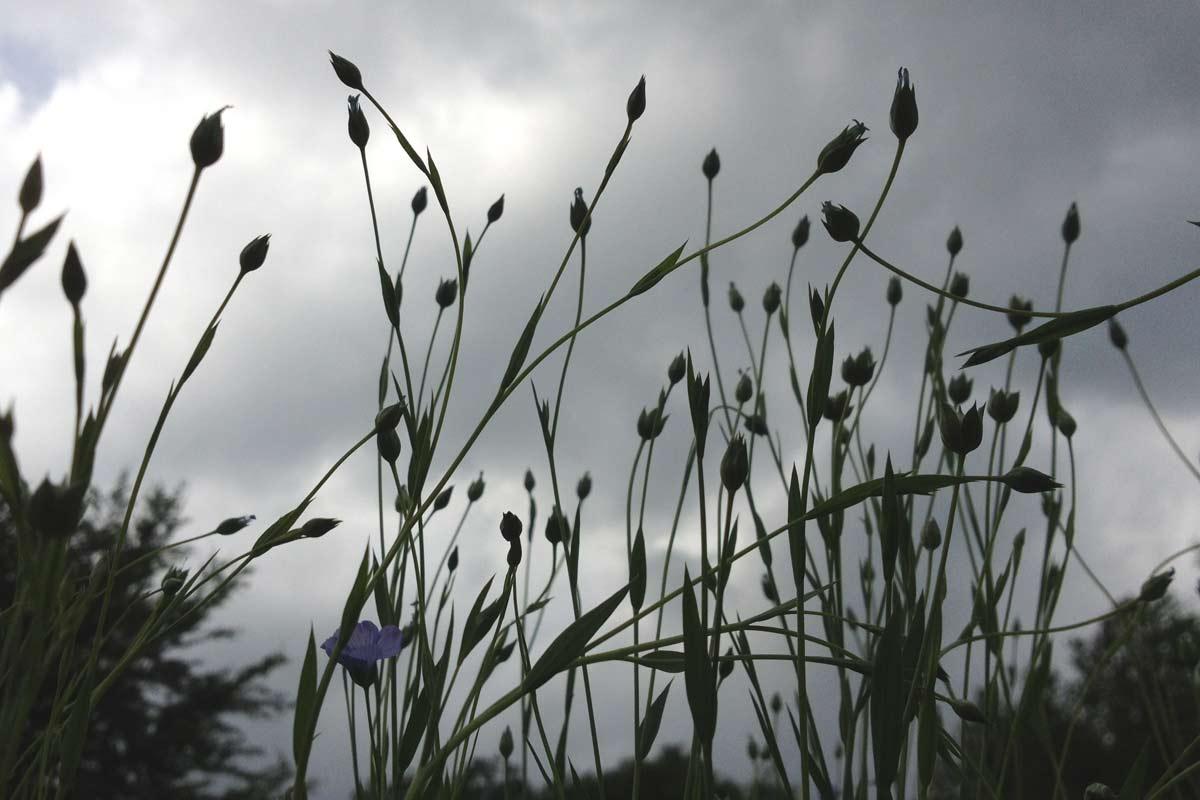Ungern gesehen - Regen zur Flachsblüte