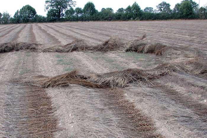 Allein eine kleine, eng begrenzte Windhose kann einiges an Flachsstroh verderben – nicht auszudenken wenn viele Hektare betroffen sind.